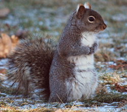 gray squirrel on the ground